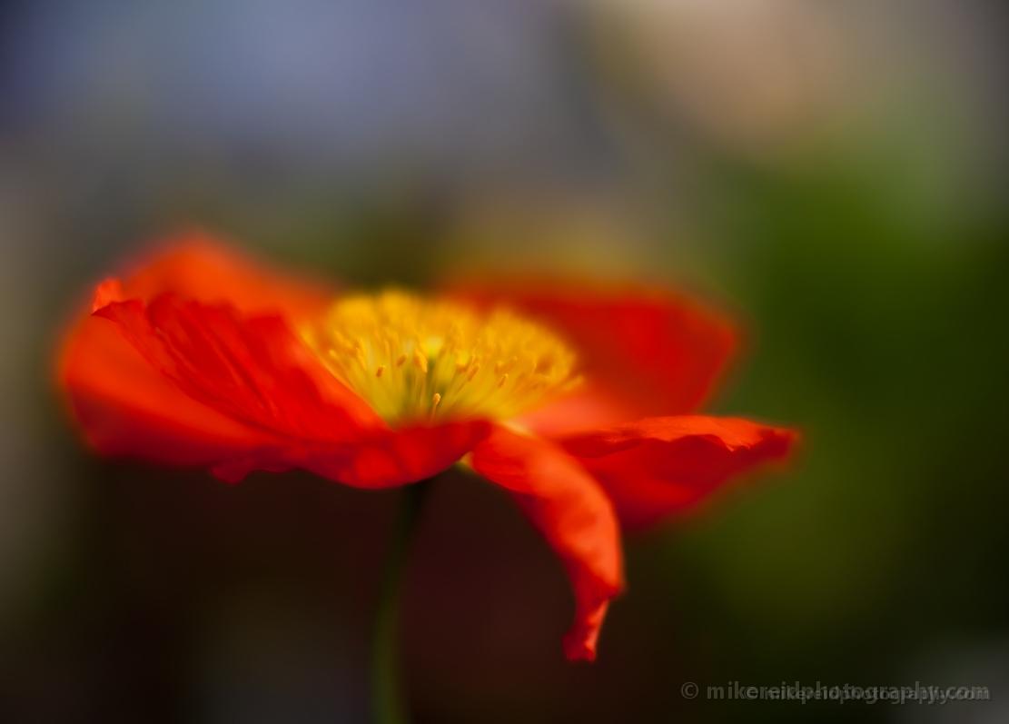 Impressionist poppy flower photography mightylinksfo