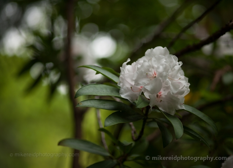 White Rhododendron Cluster Flowers